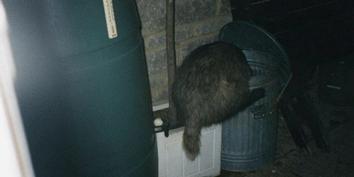 Badger-In-a-Dustbin