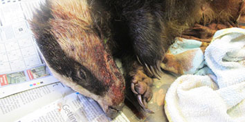 Badger cubs dying underground after mother shot