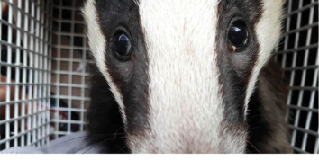 The rescue of a small badger cub from Torquay