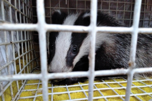 Oddcombe badger cub in a release cage awaiting its freedom!