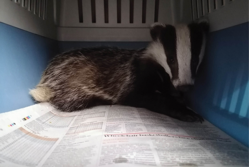 First attempt at release - The rescue of a small badger cub from Torquay