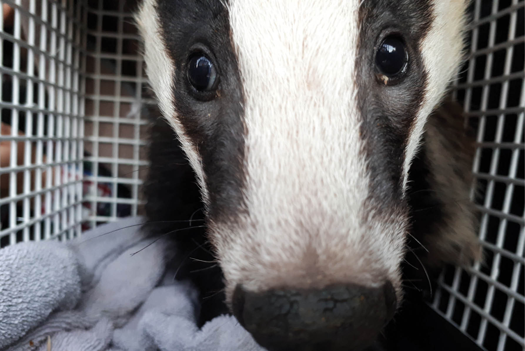 Second attempt at release - The rescue of a small badger cub from Torquay