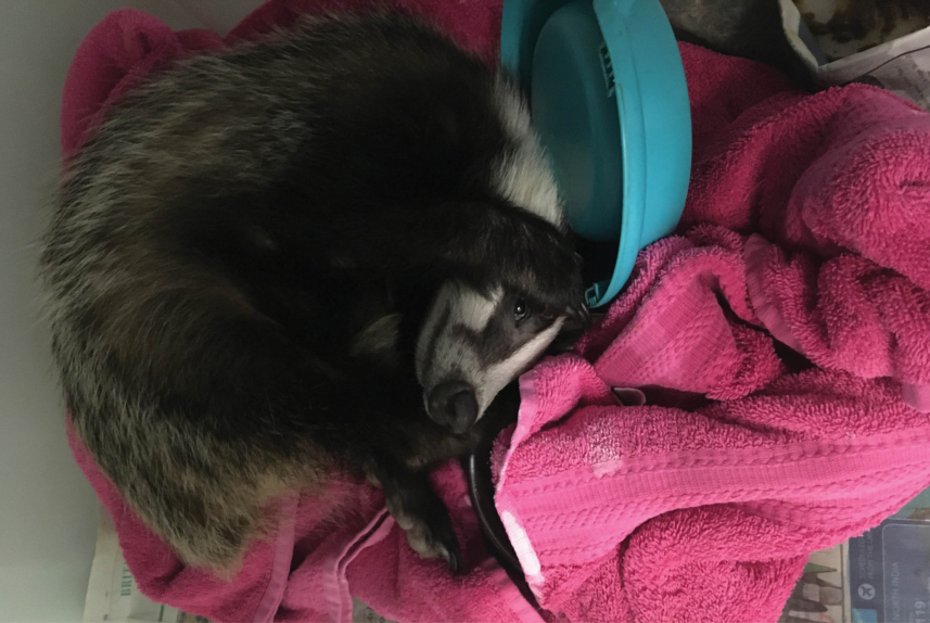The cub when taken to Exeter Vets - The rescue of a small badger cub from Torquay
