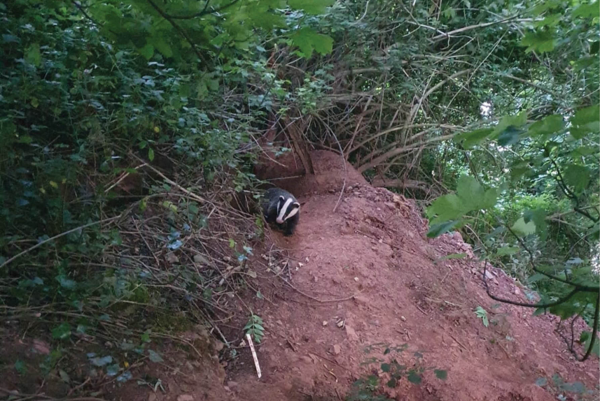 Waiting for peanuts - The rescue of a small badger cub from Torquay